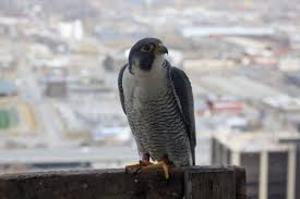 hansen in omaha u0027s skies ruthless reality reigns as father falcon