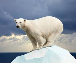 Polar bears miss the message on global warming        my article in     The study found that activity and temperature patterns recorded for polar bears in summer were not