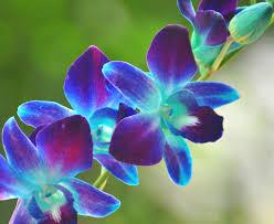 blue orchid flower blue orchid 59 desktop wallpaper hdflowerwallpaper