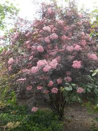 25 trending sambucus nigra black lace ideas on