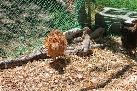 backyard chickens mimi u0027s blog