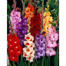 gladiolus flowers bloomsz tropical gladiolus bulbs mixture 50 pack 06025 the