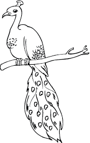 peacock coloring pages on tree branch coloringstar