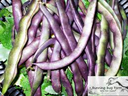 starting purple podded pole beans from seed running bug farm