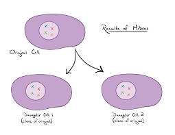 How Many Chromosomes Does A Somatic Cell Have Mitosis And Meiosis Article Cells Khan Academy