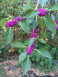native plant list florida native plants beautyberry gardening in the panhandle
