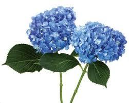 wholesale hydrangeas 13 best flowers blue images on blue flowers