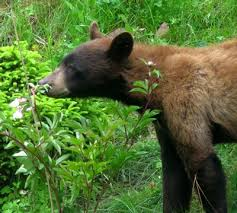 Bear Cocaine Meme - bear facts 36 facts about bears factslides