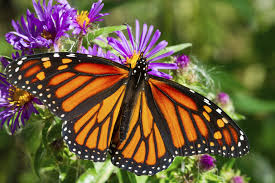 cape museum plans butterfly house for summer visitors