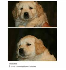 Mashed Potatoes Meme - 12 best golden retriever memes