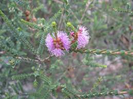australian native plants list australian plants society tasmania inc locations places south