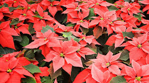 christmas flowers 9 best christmas plants how to care for christmas flowers