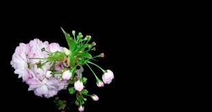 Stephanotis Flower Time Lapse Opening White Stephanotis Flower Buds Alpha Matte