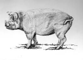 pig drawing profile beautiful dystopias