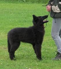 belgian sheepdog forum lab x belgian shepherd