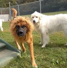 lion dog costume 5 steps with pictures