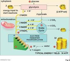 Photosynthesis And Cellular Respiration Worksheet Respiration Photosynthesis And Respiration