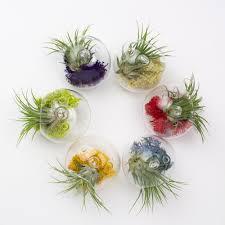 juicy froots hanging air plant terrarium gift juicykits com