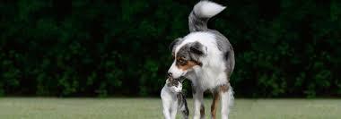 3 legged australian shepherd spca cincinnati home
