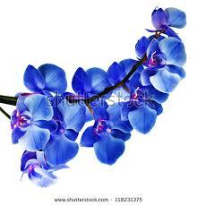 Blue Orchids Blue Orchids Stock Images Royalty Free Images U0026 Vectors