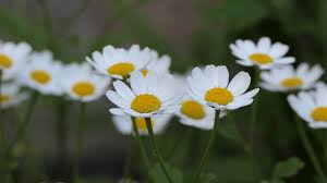 wild flowers in wild meadows chamomile flowers close up white daisy flowers nature background