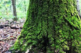 moss on a tree lljphotography on deviantart tree moss quality dogs