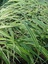 hakonechloa macra albo striata white striped hakone grass