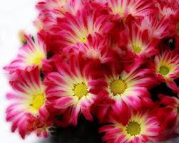 flowers in november with love and cheerfulness a chrysanthemum the november birth