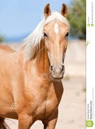 beautiful blond cruzado horse outside horse ranch field royalty