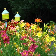 day lilies select mixed daylilies oakes daylilies