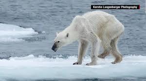 emaciated polar bear what u0027s to blame cnn video