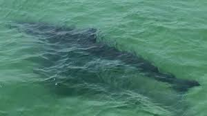 more great white sharks appear to be visiting cape cod waters necn