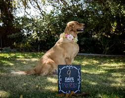 golden retriever dog maternity photo shoot