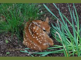 finding a fawn what to do the national wildlife federation blog