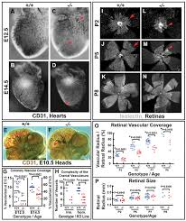 egfl7 regulates the collective migration of endothelial cells by