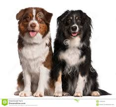 images of australian shepherd australian shepherd dog 2 years old sitting royalty free stock