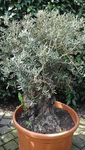 8 best olive trees images on bonsai uk plant and