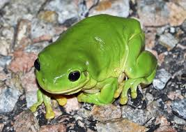 australian green tree frog history on the