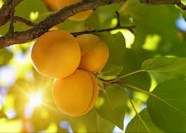 fruit trees archives u2022 arbor day blog