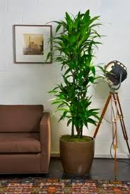 Indoor House Plants Low Light 18 Best Large Indoor Plants For Home Large Indoor Plants Indoor