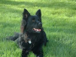 belgian sheepdog epilepsy belgian shepherd sheepdog german shepherd dog forums