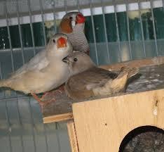 uccelli in gabbia uccelli da gabbia diamante mandarino