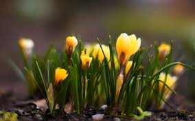 yellow crocus flowers nature spring hd wallpaper flora