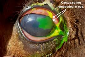 Signs Of Blindness In Horses The Equine Eye What Horse Owners Should Know Horse Side Vet Guide