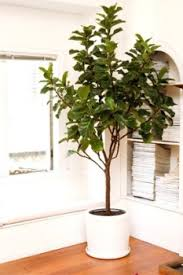 these easy indoor plants add green to your home ficus