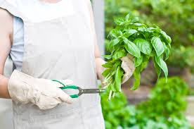 pruning back basil u2013 how and when to trim a basil plant