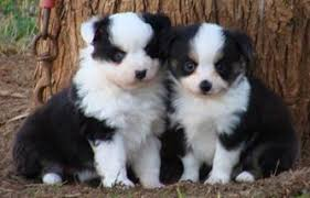 australian shepherd kennel club about aussies toy and mini aussie puppies for sale miniature