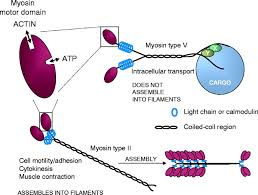 the ucs family of myosin chaperones journal of cell science