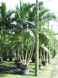 native florida plants interior plant availability calusa creek florida wholesale tree farm
