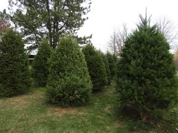 twin steeples farm christmas trees twin steeples farm llc